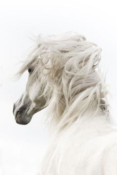 Andalusian spanish horse stallion