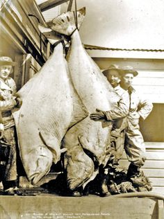 Fishermen pose with their catch of halibut in Homer, Alaska, in the 1930s.