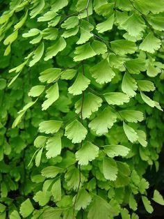 Love Maidenhair ferns