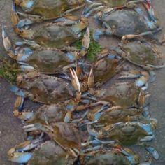 Louisiana Blue Crabs - Pic my baby took! Louisiana Seafood, Louisiana Homes, Cooking Crab, Cajun French, Mexico Blue, Blue Crabs, Lake Pontchartrain, Crab Stuffed Shrimp, Best Food Ever