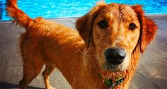 So many dog breeds have health concerns – some minor, some major. My dogs, Golden Retrievers, don't necessarily have a common problem, but due to the fact that they love, love, love the pool or any other water source, I …