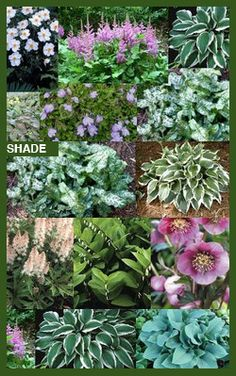 Perennial Shade Garden | Asheville Perennials, flowering perennials, groundcovers, hybrids at B ...