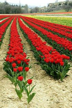 Beautiful Red Tulips!