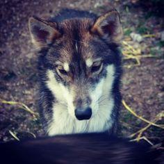 Youngster Kura Husky, Dogs, Animals, Animales, Animaux, Pet Dogs, Doggies, Animal, Animais