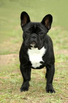 French Bulldog! This is THE ONE that I want!!!!! A black tuxedo frenchie!!!!! ♥ ♥ ♥ ♥ ♥ ♥ ♥ ♥ ♥ ♥ ♥ ♥ ♥ ♥ ♥ ♥ ♥ ♥ ♥