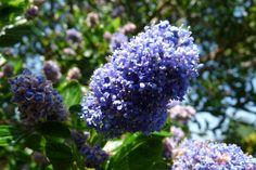 Ceanothus 'Autumnal Blue' (Amerikaanse sering, Herfstsering sering)