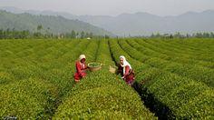 Lahijan(Lahijan is the first town in Iran to have tea plantations),Gilan,Iran