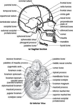 The skull consists of 8 cranial bones and 14 facial bones. The bones are listed in Table , but note that only six types of cranial bones and eight types of Anatomy Bones, Skull Anatomy, Gross Anatomy, Head Anatomy, Brain Anatomy, Dental Anatomy, Medical Anatomy, Human Skeleton Anatomy, Radiology Student