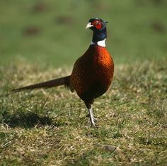 not our guest pheasant, but a look-alike