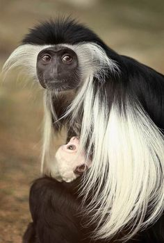 Image result for brazza's monkey standing