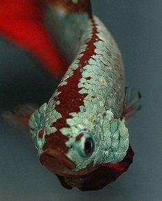 """Parede de Vidro Aquarismo on Instagram: """"Fala olhando na minha cara, se tiver coragem! - Betta Dragon . . #betta #bettamacho #peixebetta #bettafish #bettafishtank #aquarismo…"""""""
