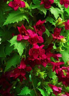 Secrets Of Producing Lofos Lophospermums