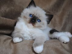 Siamese Cats Sealpoint An adorable Sealpoint Mitted Ragdoll kitten. - Best of Siamese Cat pictures: Siamese Kittens, Cute Cats And Kittens, Cool Cats, Kittens Cutest, Ragdoll Cats, Pretty Cats, Beautiful Cats, Pretty Kitty, Baby Animals