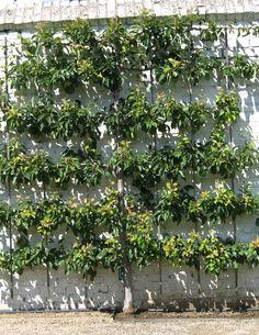 Petit arbre fruitier jardin recherche google jardin pinterest fruitier petit arbre et haies - Faire pousser un cerisier ...