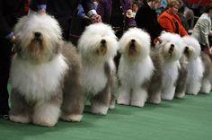 Sheepdogs + Sheepdogs