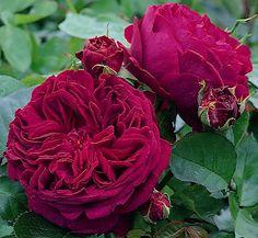 Buy rose Falstaff (shrub) Rosa Falstaff = 'Ausverse (PBR)': Delivery by Crocus.co.uk