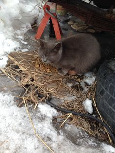 SUPER-URGENT!! Pregnant young kitten needs to be rescued from the streets in snowy #Montreal ... Foster-parents please contact www.facebook.com/cause4paws