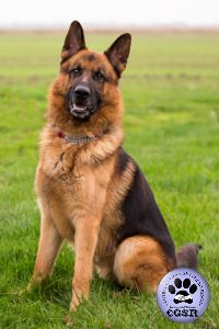 Central German Shepherd Rescue wishes Zak, a young German Shepherd best wishes in his adoption from the rescue. German Shepherd Rescue, Abandoned, United Kingdom, Fur, Friends, Animals, Left Out, Amigos, Animales