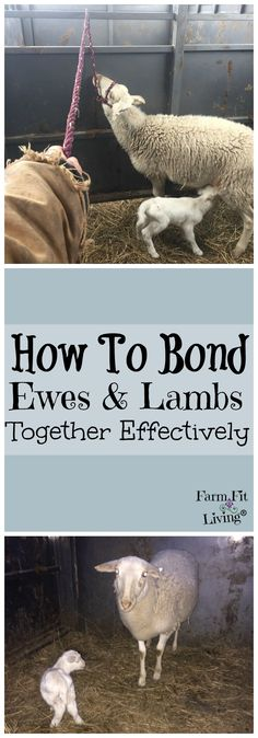 How to Bond Ewes and Lambs Together Effectively | Raising Hair Sheep | Lambing | New Baby Lambs