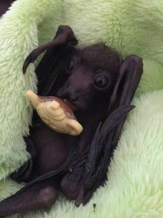 """Jackie Sparrow- The Adopted Australian bat of """"Jack Sparrow"""". Johnny Depp has a bat? Cute Baby Animals, Animals And Pets, Funny Animals, Fruit Bat, Baby Fruit, Beautiful Creatures, Animals Beautiful, Bat Flying, Baby Bats"""