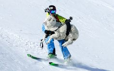 A sheep has been rescued by a skier after tumbling down a mountain. Pete Oswald, 29, skied and carried the injured animal to safety down Hector Mountain on New Zealand's South Island. Picture: INCOGNITO MEIDA/ CATERS NEWS