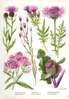 Vintage Botanical Print Antique FLOWERS, plant print botanical print, bookplate 155 art print, purple plants plant wall