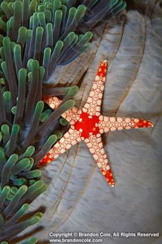 Echinoderm- sea star (Fromia monilis) and sea anemone.. starfish echinoderms invertebrates one tropical vertical sea anemone. © Brandon Cole.
