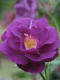'Rhapsody in Blue' | Shrub Rose. Frank R. Cowlishaw (United Kingdom, before 1999)