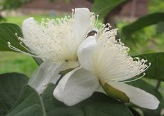 Guava - Wikipedia, the free encyclopedia