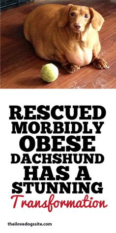 Rescued Morbidly Obese Dachshund Has a STUNNING Transformation!