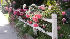 Róże pnące