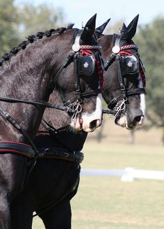 Carriage Driving horse - Dutch Harness Horses