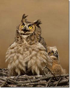 This is an awesome photo of an owl and her owlet.  Also an article an owl taking over an Osprey nest.