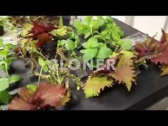 DIY How to Clone a Plant with Hanging Hydroponics™ Cloner Video - YouTube