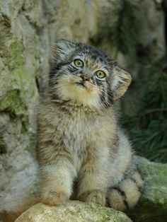 Manul, an adorable cat living in Central Asia, threatened by habitat degradation and hunting. :(