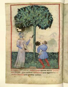Nouvelle acquisition latine 1673, fol. 13v, Récolte des caroubes. Tacuinum sanitatis, Milano or Pavie (Italy), 1390-1400.
