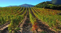 Champs de vignes sur le Mont Ayrolle, dans l'Hérault, en Languedoc-Roussillon, en France