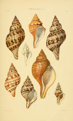 v.5 (1887) [Plates] - Thesaurus conchyliorum, or, Monographs of genera of shells - Biodiversity Heritage Library
