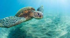 Aqua-Aston Hotel Destinations in Hawaii, Costa Rica and Florida Win A Vacation, Honeymoon Vacations, Hawaii Honeymoon, Hawaii Vacation, Hawaii Travel, Vacation Destinations, Vacation Spots, Sea Turtle Facts, Sea Turtles