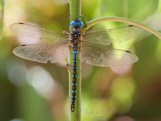Original nature photography featuring a Blue-eyed Darner (Rhionaeschna multicolor), this wall art print would make great wall décor for any dragonfly lover! Photo title: Persevere Photographer: Erica