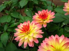 How to Plant Dahlia Bulbs | Garden Guides