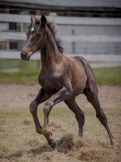 2012 Valhalla Foal by Imminence out of Donnergirl by Donnerhall (Han). | bay Trakehner foal