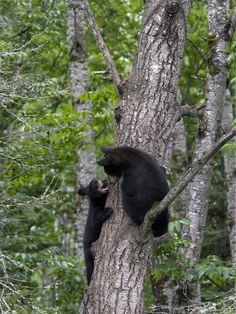 What a cute little black bear in the Smoky Mountains.