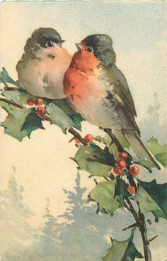 two red breasted robins on holly branch