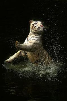 Gorgeous Tiger Splashin' Around