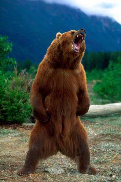 Bear in roaring stance