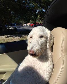Riding shotguncorvette top downawww Florida sun in my eyes wheres my shades?#dogs