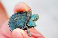 Two-headed tortoise