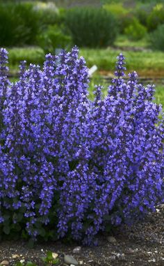 Most current Images long blooming Perennials Concepts One of the great pleasures of a garden is actually abundant, blooming perennials. Flowers Perennials, Plants, Garden Shrubs, Organic Gardening Tips, Perennials, Blue Plants, Flower Garden Care, Fragrant Plant, Perennial Garden