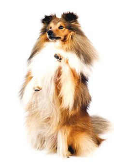 The Shetland Sheepdog. Unlike many miniature breeds that resemble their larger counterparts, this breed was not bred simply by selectively breeding the Rough Collie for a much smaller size. Developed to tend the sheep of the Shetland Islands, whose rugged, stormy shores have produced other small-statured animals such as the Shetland pony. Lively, intelligent, playful, trainable, & willing to please, they are loyal, & affectionate with their family, but are naturally aloof with strangers.